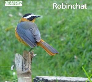 Robinchat